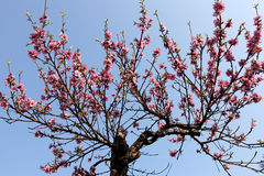 Tree med rosa blommor Royaltyfri Fotografi