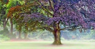 Tree Meditation. Panorama photo of beech tree in a foggy day Royalty Free Stock Photography