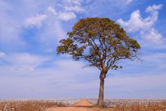 Tree in the middle of a cotton field in Campo Verde, Mato Grosso, Brazil stock photography