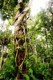 Rainforest Tree Stock Photo