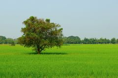 Tree in the middle of the field. royalty free stock image
