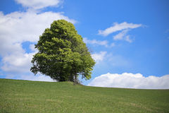 Tree in the middle of the green meadow in summer Stock Photos