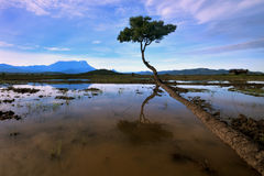 Tree in the middle of paddy field Royalty Free Stock Photos