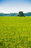Tree in the middle of padi field Stock Images