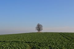 Tree in the middle of rapeseed field Royalty Free Stock Images