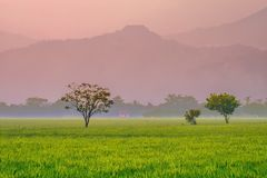 Tree, in the middle of rice field Stock Image