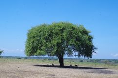 The tree in the middle of the savanna royalty free stock photography