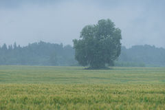 Tree in the middle of the wheat field. Rain and fruitage, forest in background. Organic crop, natural environment Stock Photos