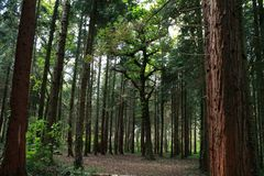 Large tree in middle of opening in woods royalty free stock photo