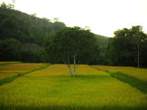 Tree is in the midst of rice field. Stock Photo