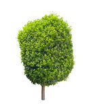 Buxus Sempervirens aka Boxwood tree, isolated on white. Buxus Sempervirens also known as Boxwood tree, a popular ornamental plant in gardens and parks, isolated Royalty Free Stock Photos