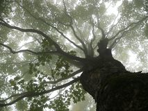 Tree in mist. Old big tree in mist Royalty Free Stock Photo