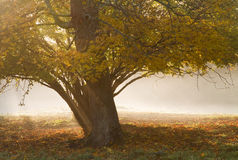Tree in mist. Royalty Free Stock Images