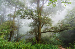 Tree in the mist. Royalty Free Stock Image