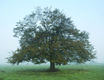 Tree in mist Royalty Free Stock Photography