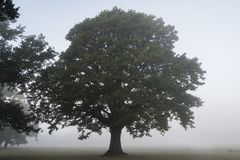 Tree in the mist on Southampton Common royalty free stock photo