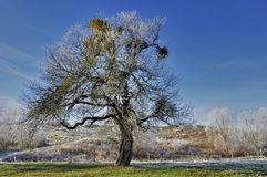 Beautiful old apple tree Royalty Free Stock Images