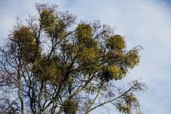 Trunk of mistletoe high in branches of the tree Royalty Free Stock Images