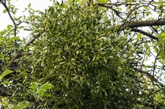 Tree with mistletoe - viscum. Tree in winter time with some evergreen mistletoe royalty free stock photography