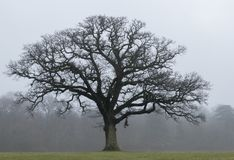 A tree on a misty day on Southampton Common stock images