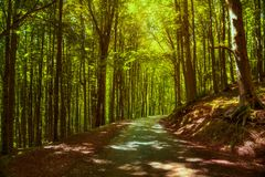 Tree misty forest or beechwood. Foreste Casentinesi national par Stock Photos