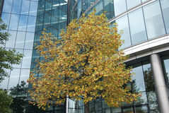 Tree modern building. Tree in autumn in front of a modern office building royalty free stock photos