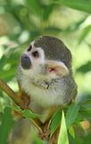 Tree Monkey Stock Image