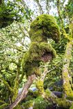 The Tree Monster of Wistman`s Wood on Dartmoor, England. The ancient Wistman`s Wood on Dartmoor in Devon in the south-west of England, has some amazing trees and stock images