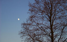 Tree and moon. Tree in winter at sunset in silhouette against a blue sky with a moon Stock Photography