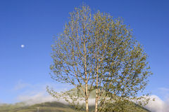 Tree in the morning. Tree on a mountain in morning hours under blue sky,and the moon can be seen Stock Photo