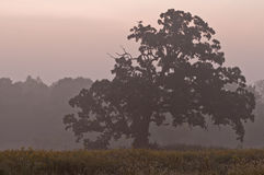Tree in the morning mist. Tree on a misty fall morning Royalty Free Stock Photography