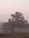 Tree in the morning mist. Tree on a misty fall morning Stock Images