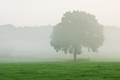 Tree in morning mist. Single tree in morning mist standing in a meadow Royalty Free Stock Photography