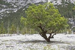 Tree mortality Royalty Free Stock Photo