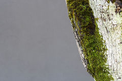 Tree with moss Royalty Free Stock Photos