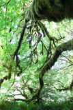 Tree Moss Royalty Free Stock Photography