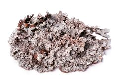 Tree moss blue branched lichen isolated. On white background Royalty Free Stock Image