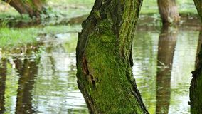 Tree with moss. Close Up of tree which is covered with a lot of green moss and a river in the background, 4K stock footage