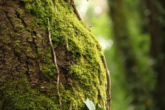 Tree with Moss Stock Image