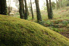 Tree with Moss Stock Photography