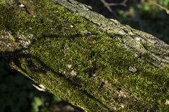 Tree moss Royalty Free Stock Photos