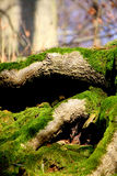Tree moss Stock Photo