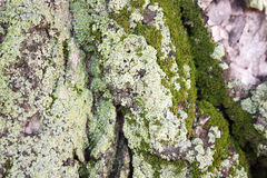 Tree with moss green. Horizontal Royalty Free Stock Photography