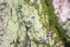 Tree with moss green. Photo for your design Royalty Free Stock Photography