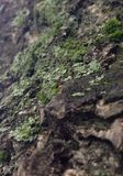 Tree Moss Royalty Free Stock Images