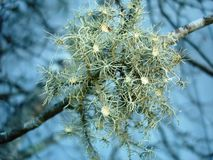 Tree moss, lichen Stock Photos