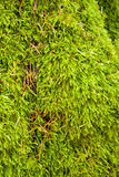 Tree moss and pine needles closeup Royalty Free Stock Photo