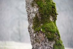 Tree with moss on roots in a green forest or moss on tree trunk. Tree bark with green moss. Azerbaijan nature. Selective focus Stock Photos
