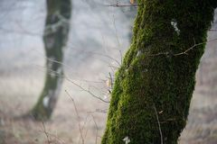 Tree with moss on roots in a green forest or moss on tree trunk. Tree bark with green moss. Azerbaijan nature. Selective focus Royalty Free Stock Images