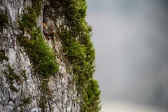 Tree with moss on roots in a green forest or moss on tree trunk. Tree bark with green moss. Azerbaijan nature. Selective focus Royalty Free Stock Photography